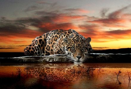Wild cat Jaguar wallpaper murals